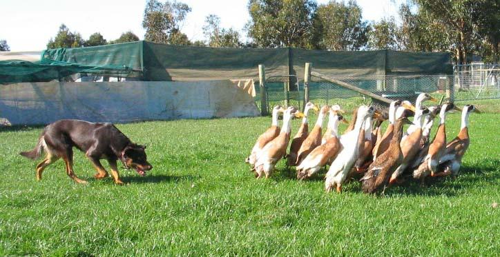 Training Herding Dogs With Ducks