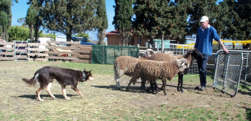 how to train a herding dog